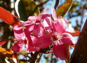Jacquie's Crabapple blossom