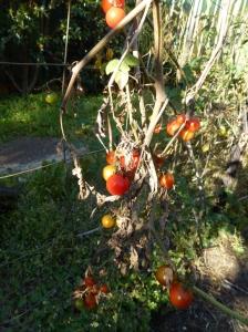 Cherry Tomatoes finishing© 2014 Jacquie Garton-Smith